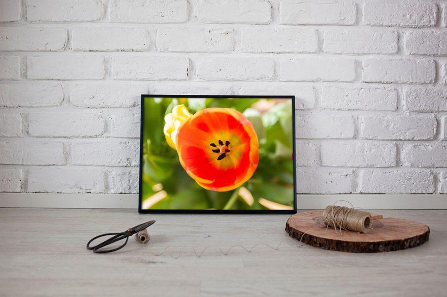 Oranje tulp macro foto poster - Natuur Wanddecoratie