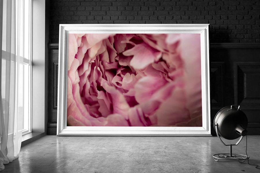 Roze Pioenroos - Botanische Poster