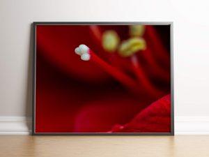 stamper van een rode amaryllis - natuur fotografie